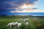 Irish livestock