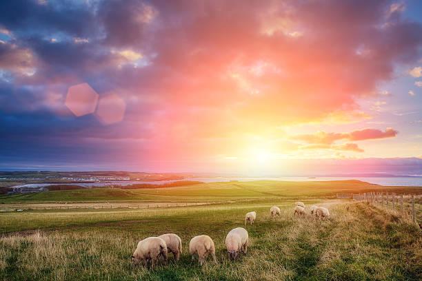 sheeps in Irlanda al tramonto - foto stock