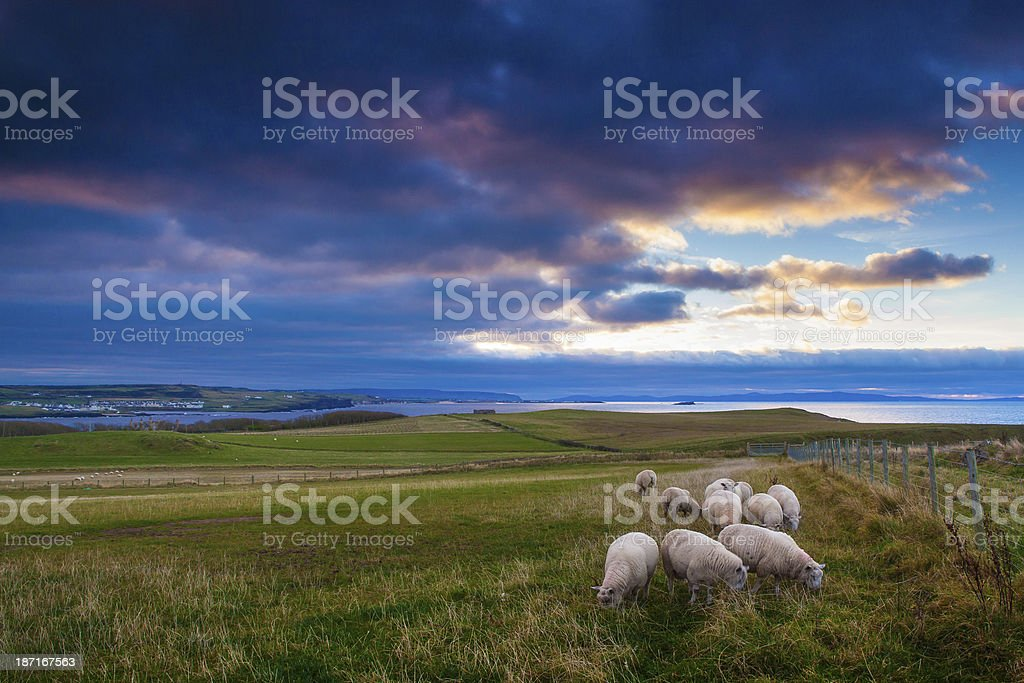 sheeps in Ireland at sunset royalty-free stock photo
