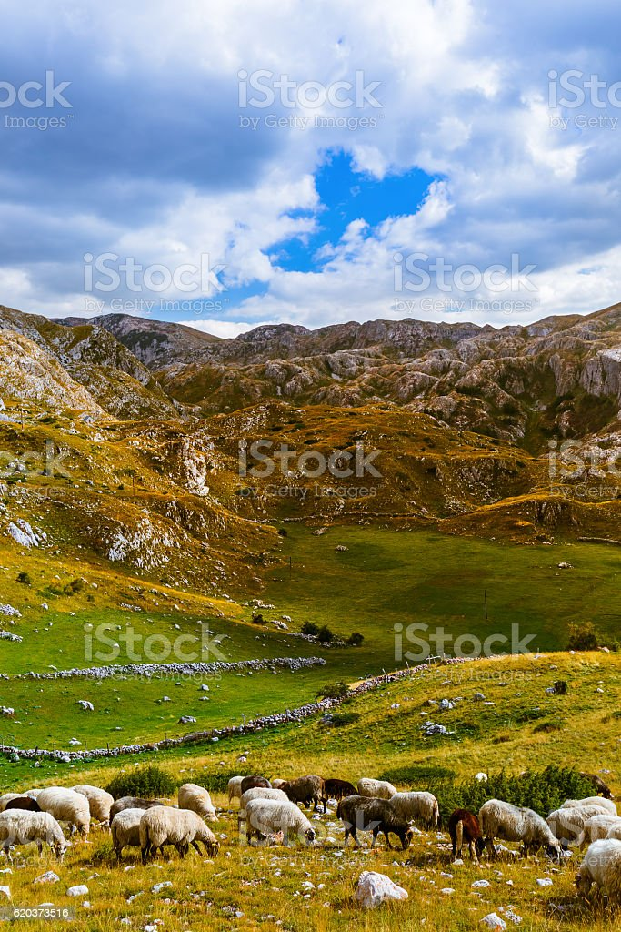 Sheeps in National mountains park Durmitor - Montenegro zbiór zdjęć royalty-free