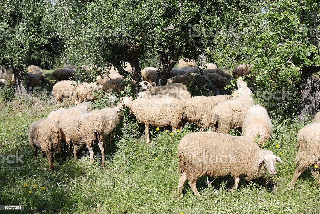 sheeps in plantation of olive trees royalty-free stock photo