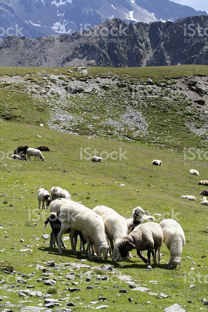 Sheeps in the Alps stock photo