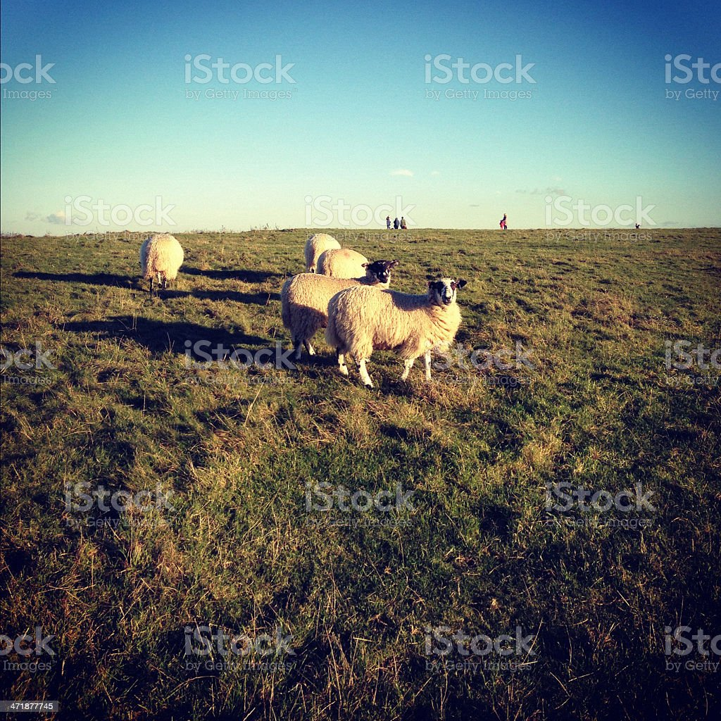 Sheeps in the field at Uffington White Horse royalty-free stock photo