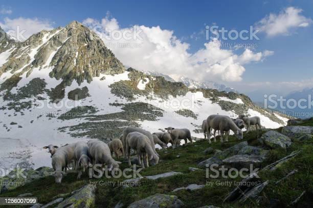 Sheeps near Lago Nero dello Spadolazzo (Black Lake of Spadolazzo) - Стоковые фото Без людей роялти-фри