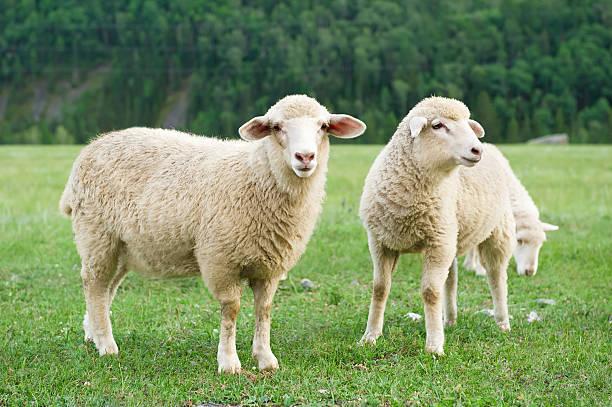 Sheeps su un prato in montagna - foto stock