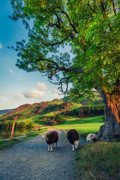 Sheeps on footpath in the Lake District at sunset, England Sheeps on footpath in the Lake District at sunset, England cumbria stock pictures, royalty-free photos & images