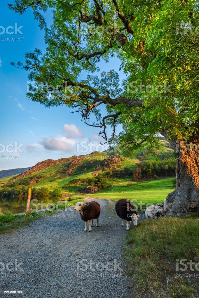Sheeps on footpath in the Lake District, England stock photo