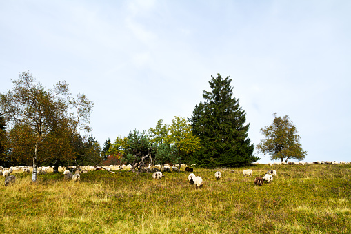 Sheeps on heathland of Kahler Asten