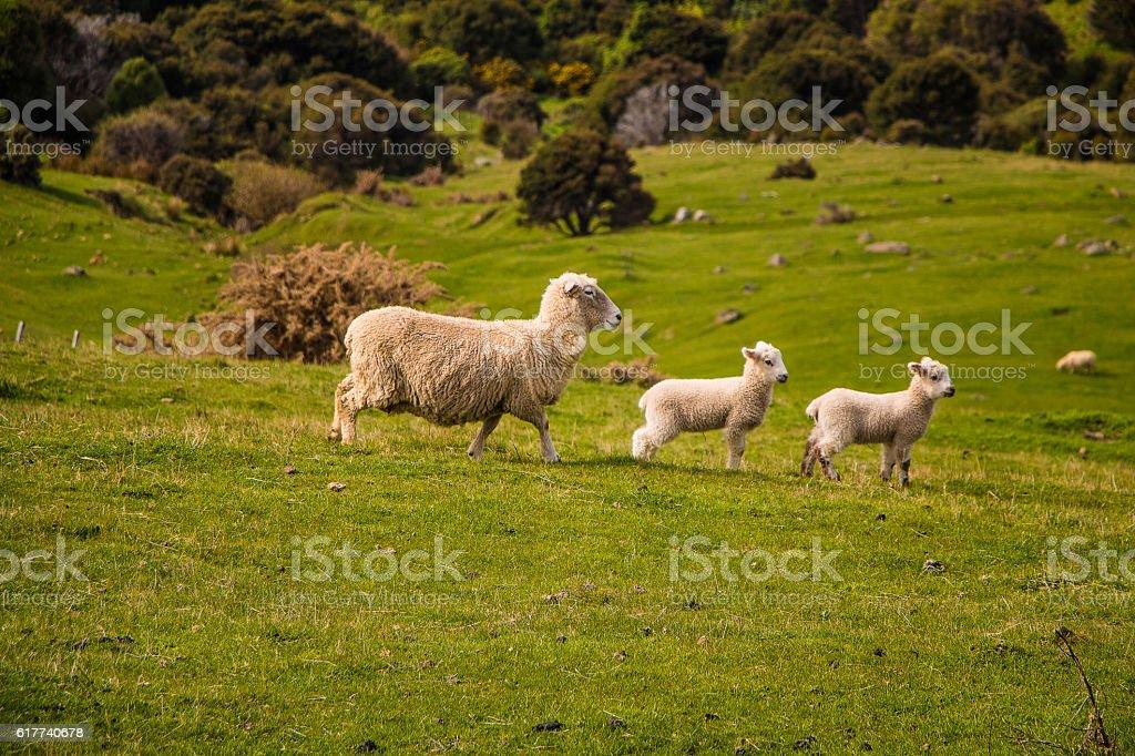 Sheeps on hills stock photo