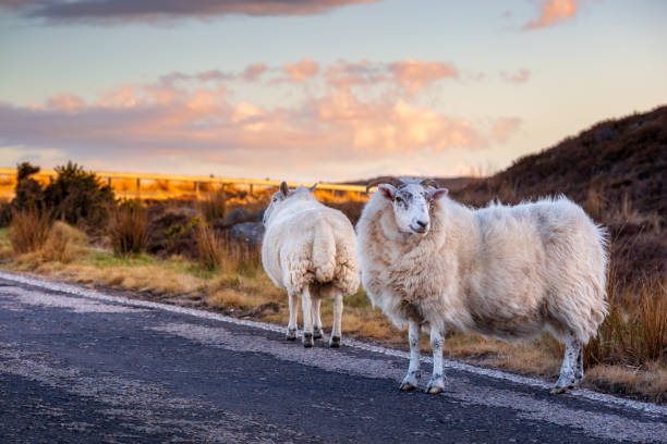Sheeps on the highway A836 in the scottish highlands A few sheeps on the highway A836 in the scottish highlands north coast 500 stock pictures, royalty-free photos & images