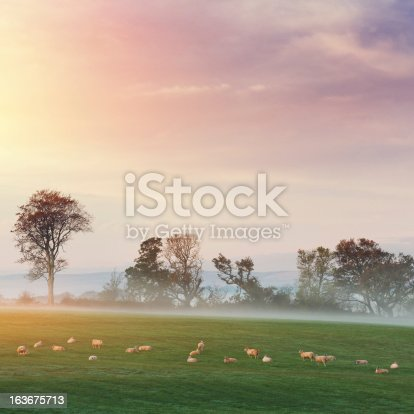 sheeps on the pasture at dawn. Ireland.