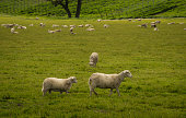 Sheep, Fence, Cattle, Animal, Eating