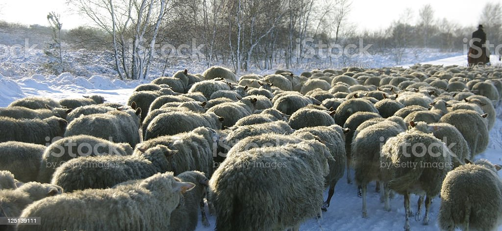 sheeps royalty-free stock photo