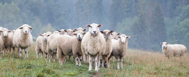 Flock of sheep on a hill in the Tatra Mountains