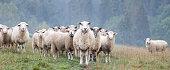 istock Sheeps 1285705013