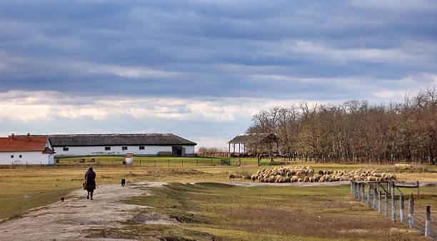 sheeps - półpustynny zdjęcia i obrazy z banku zdjęć