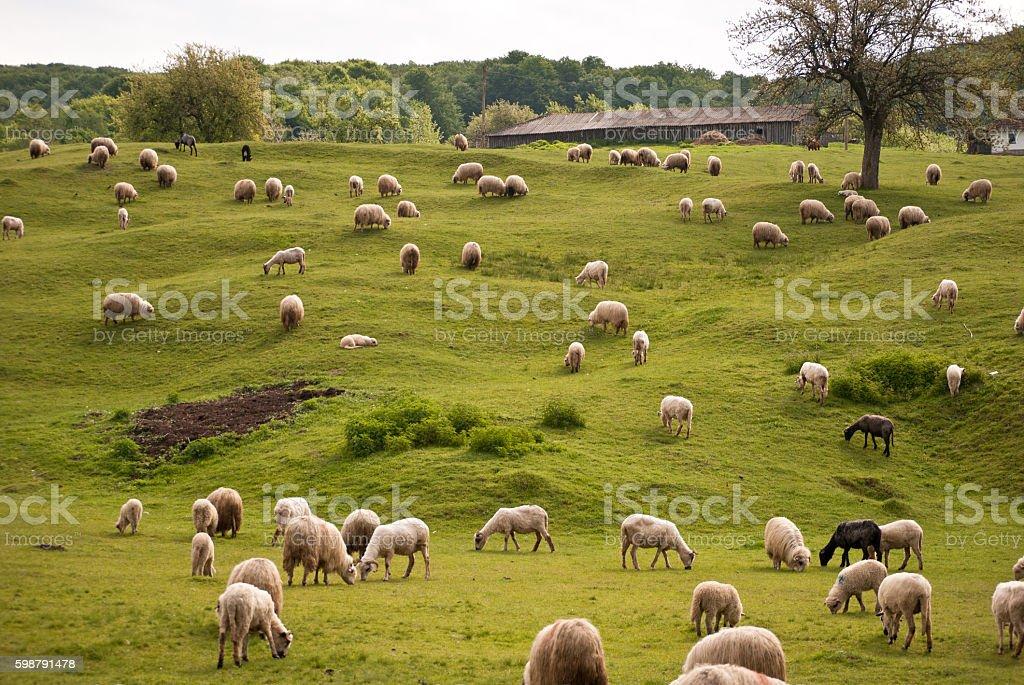 Sheeps stock photo