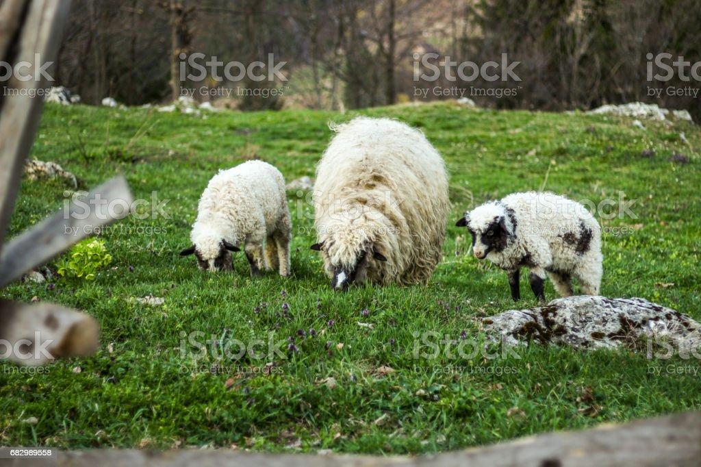 Sheeps foto de stock royalty-free