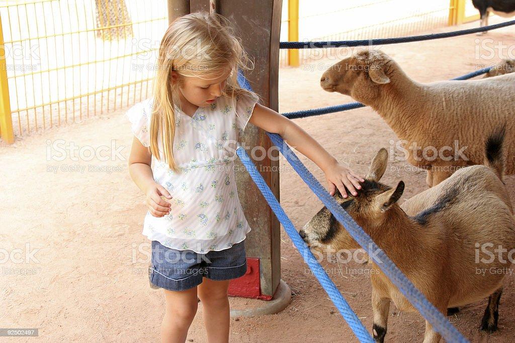 Sheeps royalty-free stock photo