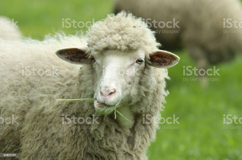 Sheeps – Foto