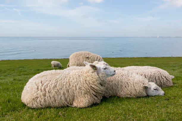 Sheeps resting in the grass on the dyke next to the IJsselmeer stock photo