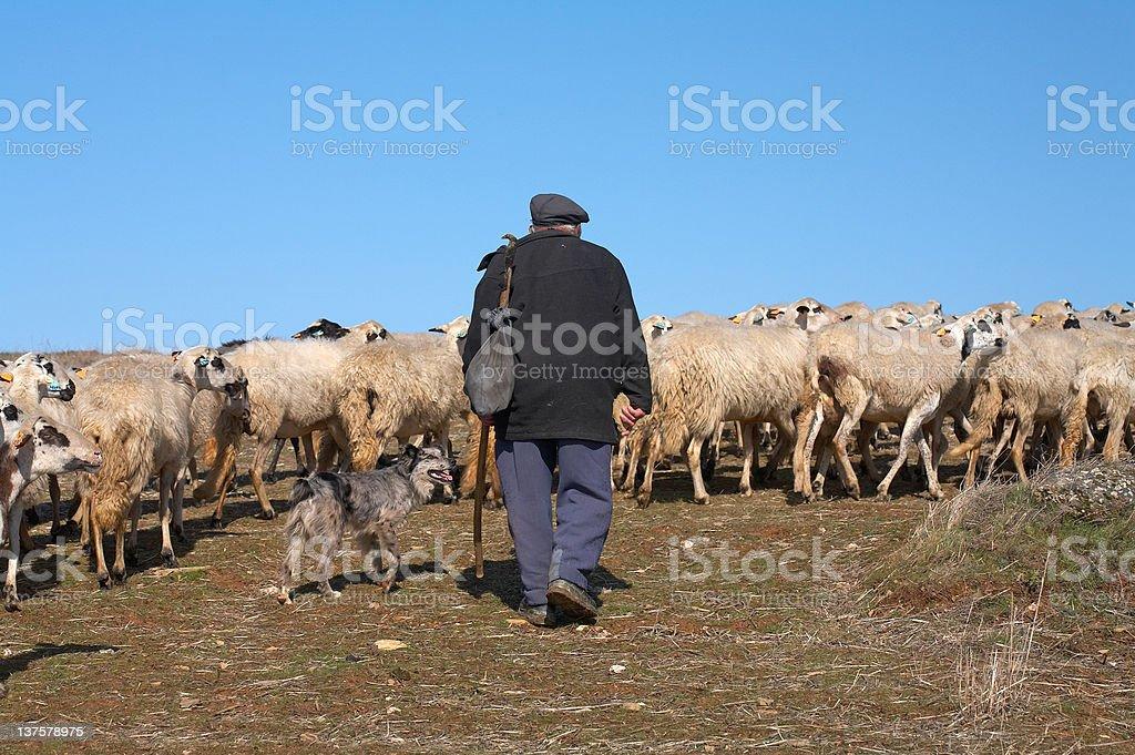 Sheeps & Shepherd (Portugal) royalty-free stock photo