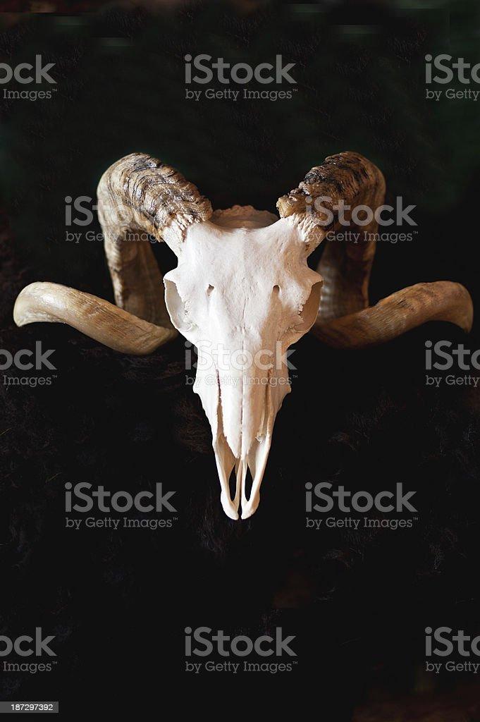 Sheep's skull stock photo