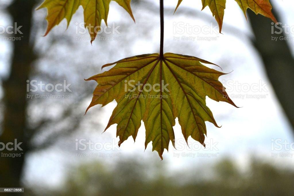 밝은 하늘 배경 캐나다 메이플의 시트 royalty-free 스톡 사진