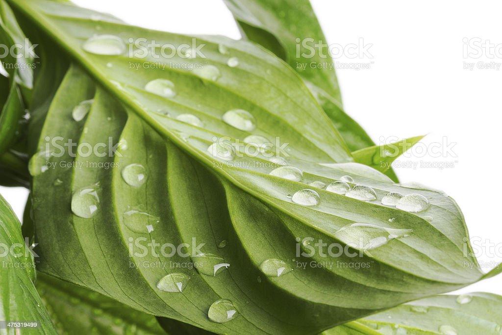 sheet 'Spathiphyllum wallisii' in water stock photo