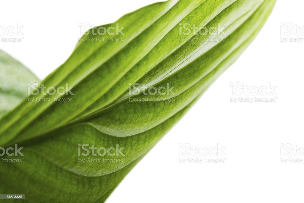 sheet 'Spathiphyllum wallisii' on white background stock photo