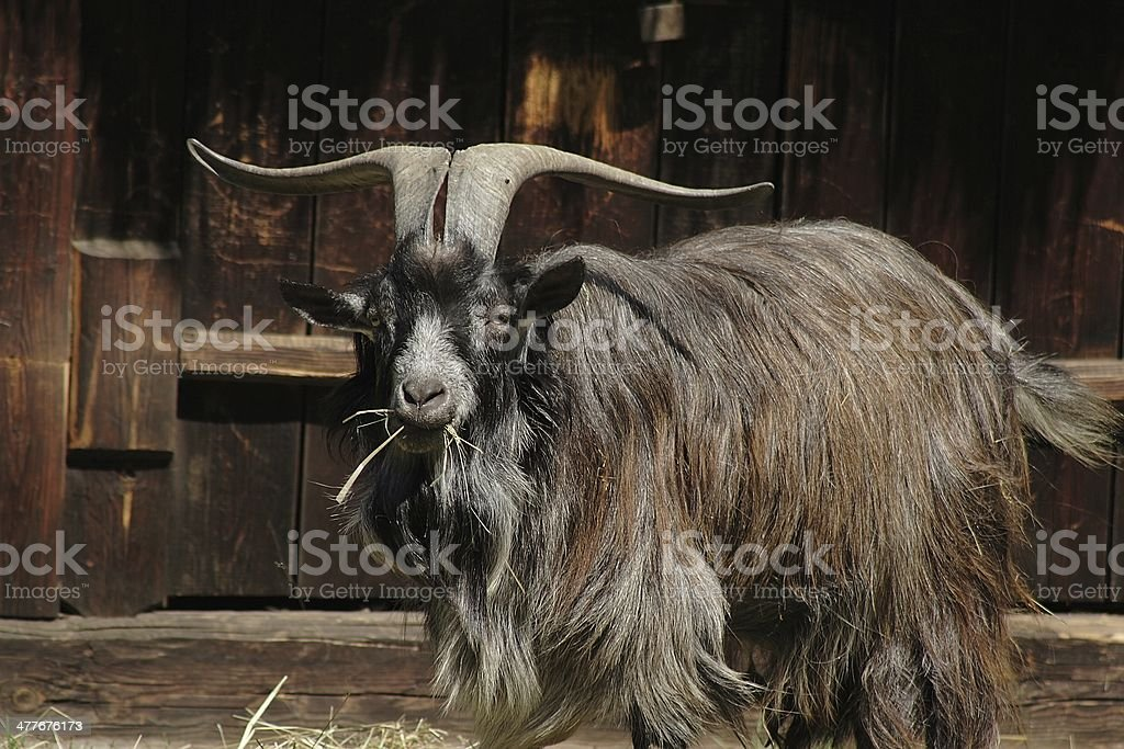 she-goat royalty-free stock photo