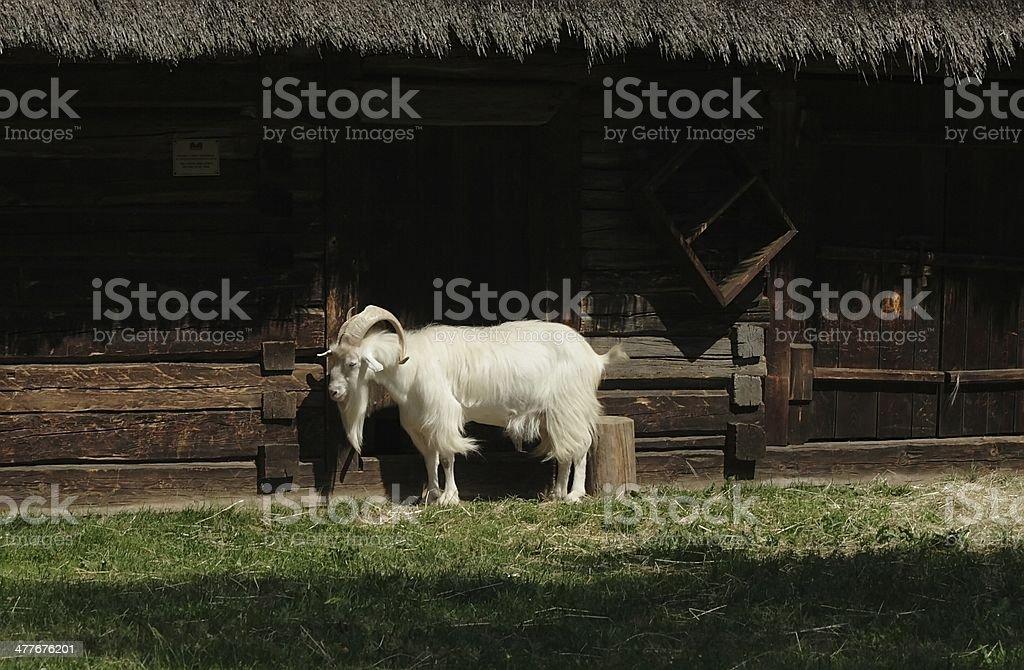 she-goat royalty-free stock photo