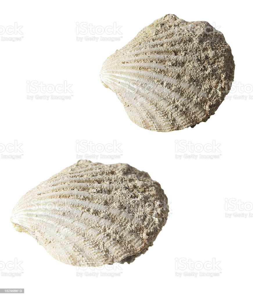 Shell Fossil royalty-free stock photo