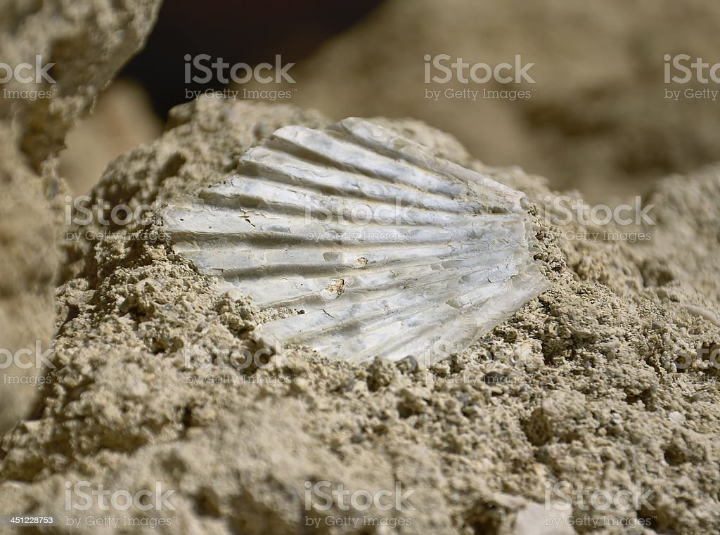 Shell fossil stock photo