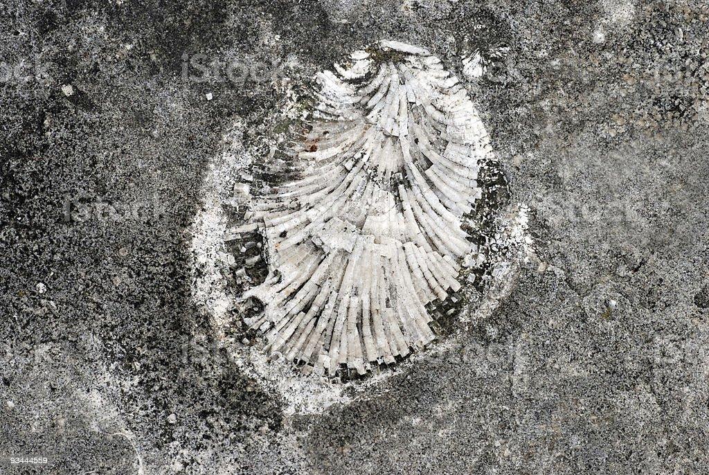 Shell Fossil Lizenzfreies stock-foto