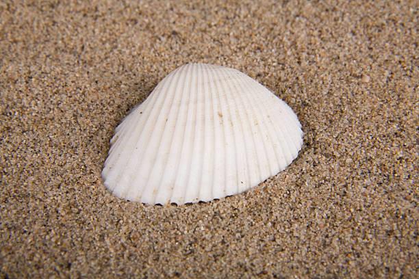 Shell auf Sand 1 – Foto