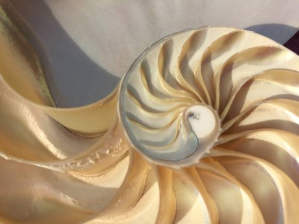 shell nautilus fibonacci sequence symmetry cross section spiral structure golden ratio background mollusk (nautilus pompilius) copy space half split stock, photo, photograph, image, picture, - golden ratio zdjęcia i obrazy z banku zdjęć