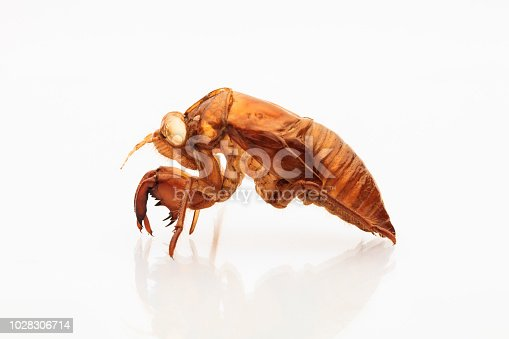 shell of cicada on white background