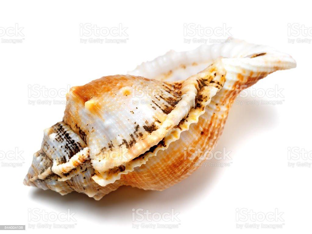 Shell of frog snail (Tutufa bubo) stock photo