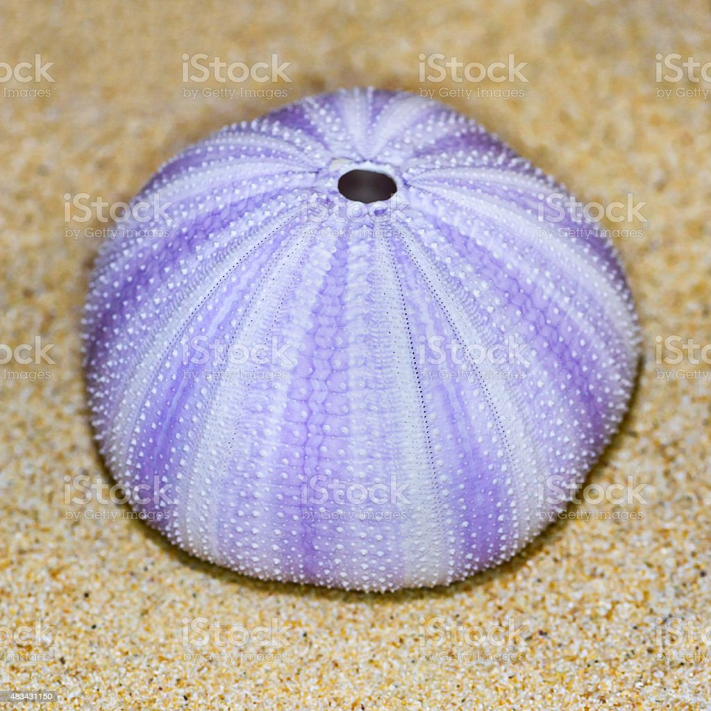 Shell of Sea Urchin or urchin stock photo