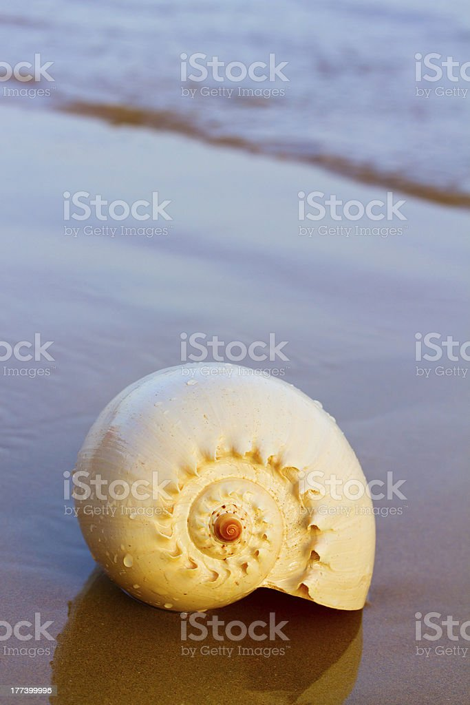 shell on sea shore royalty-free stock photo