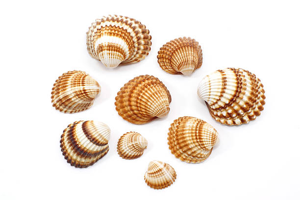 shell - herzmuschel stock-fotos und bilder