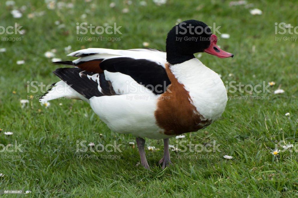 Shellduck on grass royalty-free stock photo