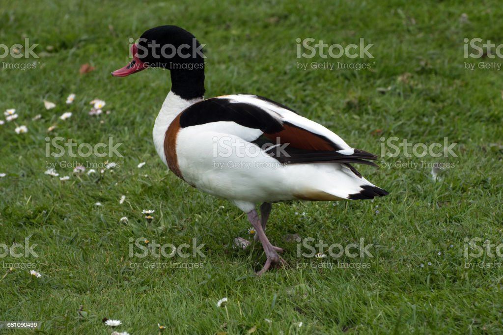 Shellduck walking on grass royalty-free stock photo