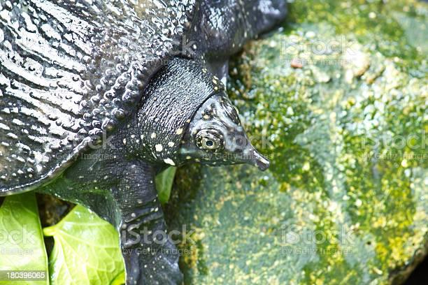 Shelled turtle picture id180396065?b=1&k=6&m=180396065&s=612x612&h=xkzrdohpb2lfm7yzs9vbj 5tsqotmskddeyp88kzu3c=