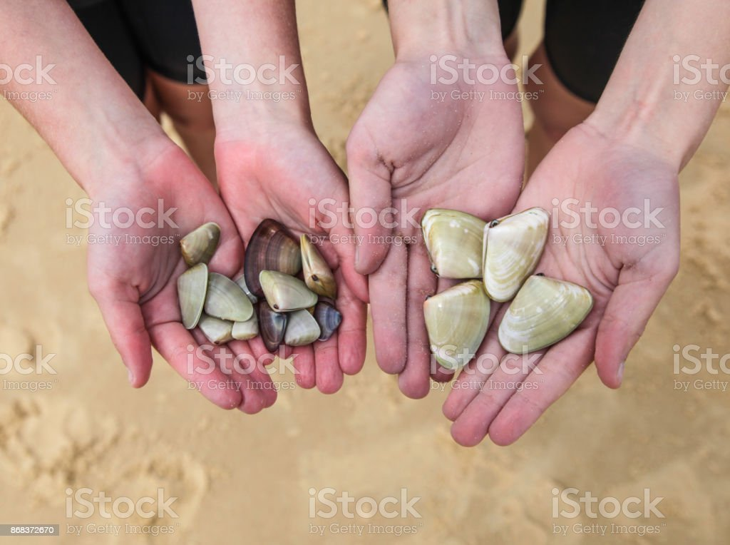 Shellfish collecting - Two children hold pipis that they have found at the beach. stock photo