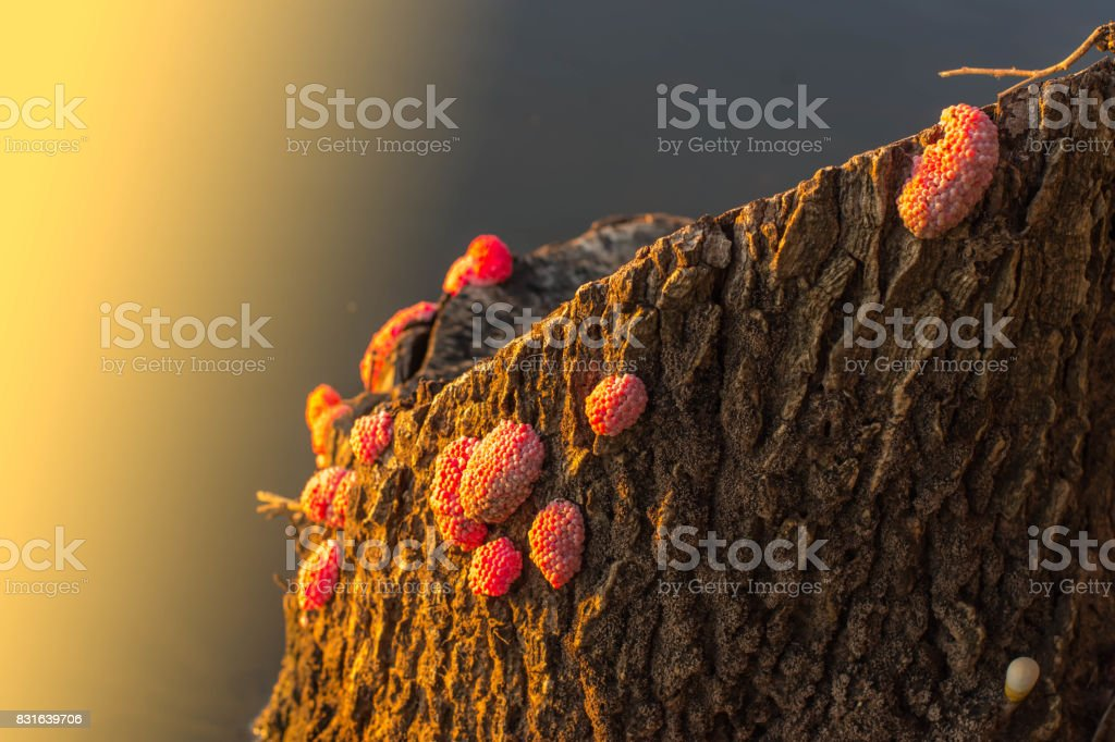 Shellfish, rice pests, pink eggs hold together as a breeding group, bored, drunk, dispersed. Destroy crops on the farm , Alien species Crossing Mutant invaders stock photo