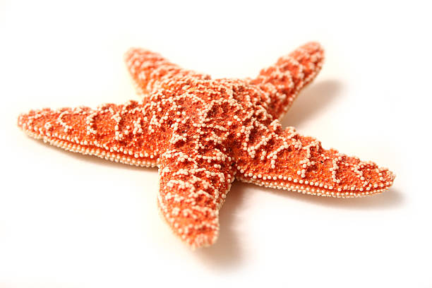 Shellfish Series Studio shot of shellfish starfish stock pictures, royalty-free photos & images