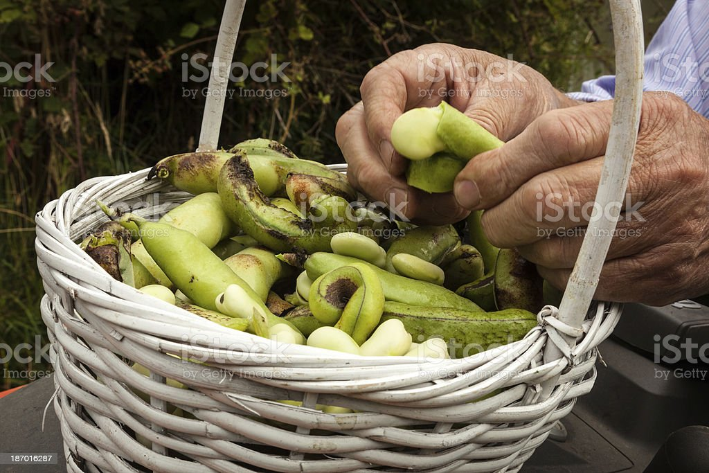 Shelling the Beans II royalty-free stock photo