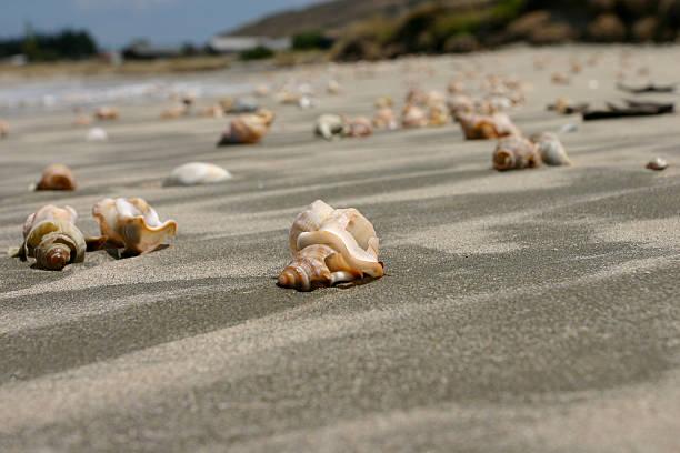 Shells along Mahanga Beach stock photo